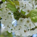 Apfelblüte in Nordballig